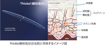 Prickle(棘状成分)がお肌に作用するイメージ図